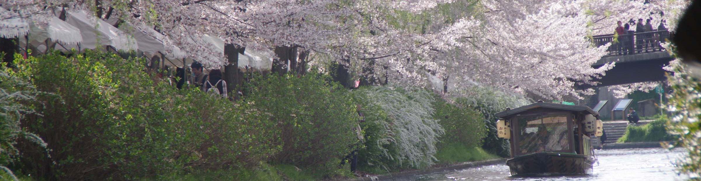 Cherry blossom in fushimi kyoto